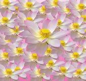 桃红色黄睡莲花,水百合,池塘百合,睡莲,莲属nucifera,亦称印地安莲花,莲 库存图片