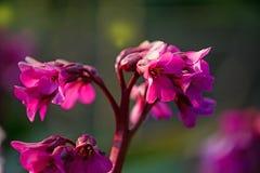 桃红色洋红色春天花在深绿背景中 免版税库存图片
