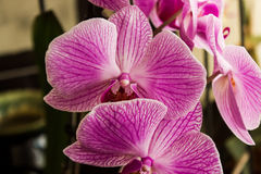 桃红色紫红色的兰花 库存图片