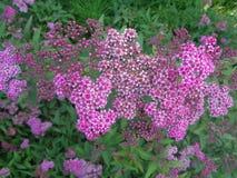 桃红色绣线菊类的植物灌木在庭院里 库存图片