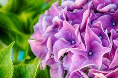 桃红色紫色八仙花属 免版税图库摄影