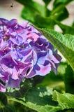 桃红色紫色八仙花属 免版税库存图片