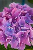 桃红色紫色八仙花属 免版税库存照片