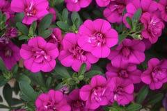 桃红色紫色开花背景新五颜六色的开花绽放自然花卉充满活力的生活 库存图片