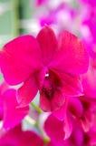 桃红色紫色石斛兰属兰花 库存照片