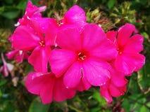 桃红色紫色福禄考花在庭院里 这是福禄考花 它是季节主题 图库摄影