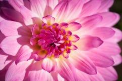 桃红色&黄色花特写镜头在桃红色&黄色花庭院/宏指令里在森林里 库存照片