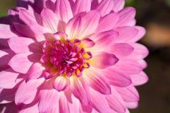 桃红色&黄色花特写镜头在桃红色&黄色花庭院/宏指令里在森林里 免版税库存照片
