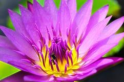 桃红色紫色莲花或荷花与黄色桃红色花粉和臭虫 免版税库存照片