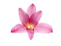 桃红色紫色雨百合 免版税库存照片