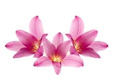 桃红色紫色雨百合 免版税图库摄影