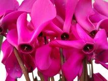 桃红色/紫色仙客来 装饰工厂 免版税库存照片