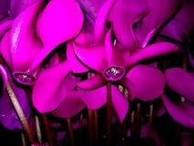 桃红色/紫色仙客来 装饰工厂 库存图片