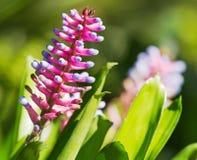桃红色紫色bromeliad花 免版税图库摄影