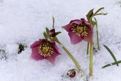 桃红色黑黎芦(嚏根草属尼日尔)或圣诞节罗斯在他们的自然生态环境开花 库存图片