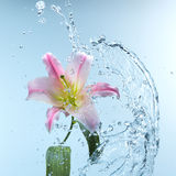 桃红色黄花菜在凉快的飞溅的水中 库存图片