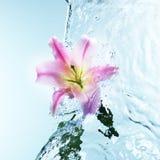 桃红色黄花菜在凉快的飞溅的水中 免版税库存照片