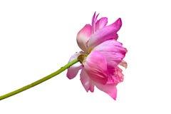 桃红色水lilly用小水在白色背景滴下了 库存照片