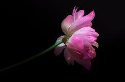 桃红色水lilly用小水在黑背景滴下了 库存图片