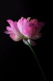 桃红色水lilly用小水在黑背景滴下了 免版税库存图片