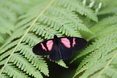 桃红色Actinote (Altinote dicaeus) 图库摄影