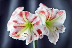 桃红色amarilis 库存照片