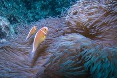 桃红色Anemonefish 库存照片