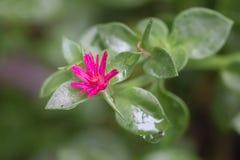 桃红色Aptenia花在草甸 免版税库存照片