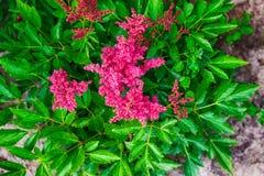 桃红色astilba在庭院里 库存照片