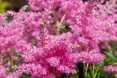 桃红色astilba美丽的蓬松灌木在庭院里 免版税图库摄影