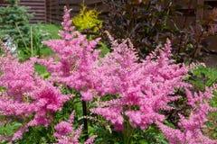 桃红色astilba美丽的蓬松灌木在庭院里 免版税库存照片