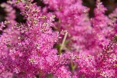 桃红色astilba美丽的蓬松灌木在庭院里 库存照片