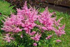 桃红色astilba美丽的蓬松灌木在庭院里 库存图片