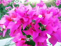 桃红色bouganvillea 免版税库存图片