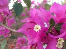 桃红色bouganvillea 库存图片