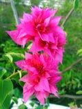 桃红色bouganvillea 免版税库存照片