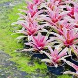 桃红色Bromeliads 库存照片