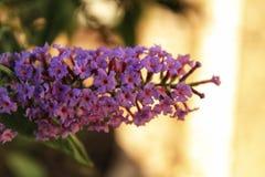 桃红色buddleja davidii花在庭院里 免版税库存照片
