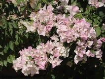 桃红色Bugambilia花 库存照片