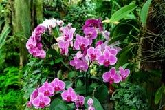 桃红色caladenia兰花在一个植物园里开花 库存照片