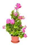 桃红色Calandiva在一个棕色花瓶, Kalanchoe,家庭景天科开花 免版税库存照片
