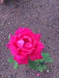 桃红色Canarian上升了 库存图片