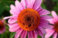 桃红色coneflower顶上的看法  免版税库存图片