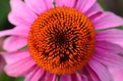 桃红色coneflower顶上的看法  库存图片