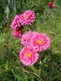 桃红色crysanthemum花 免版税库存照片