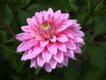 桃红色dhalia 图库摄影