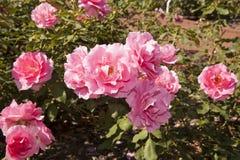 桃红色Floribunda玫瑰 免版税图库摄影