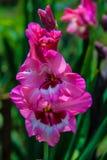 桃红色gladiola花背景 免版税库存照片