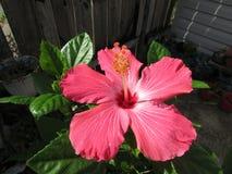 桃红色Hibiscus1 图库摄影