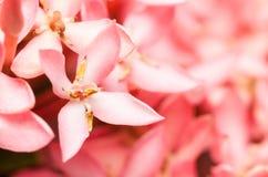 桃红色Ixora或西部印地安人茉莉花花 免版税库存照片